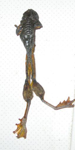 Petrified frog, dead frog, frogs, Australian frogs, Is it art?